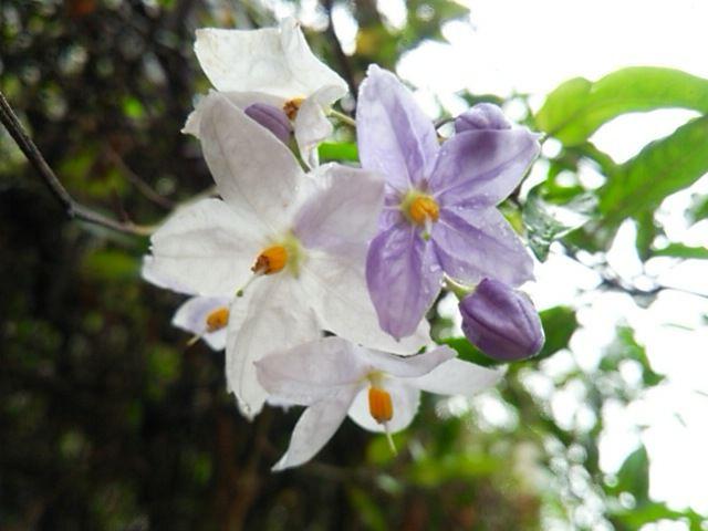 紫から白に変わる花